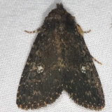 9696 Dusky Groundling Moth yard 7-8-14 (6)_opt