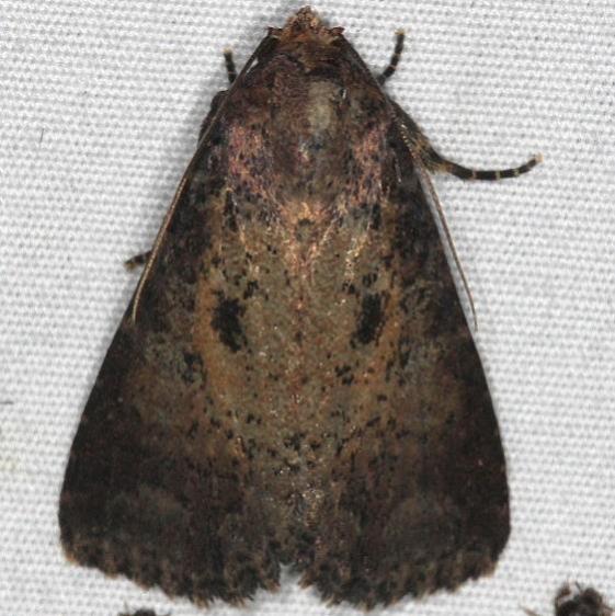 9696 Dusky Groundling Moth Quarry Lake Everglades 2-28-15