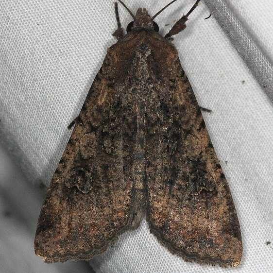 9699 Cobbler Moth yard 8-31-14