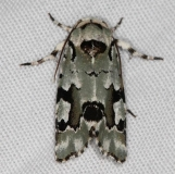 9718 Beloved Emarginea Moth Campsite 119 Falcon St Pk 10-22-16_opt