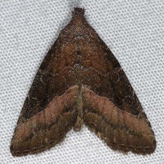 9720 Common Pinkband Moth yard 7-24-14