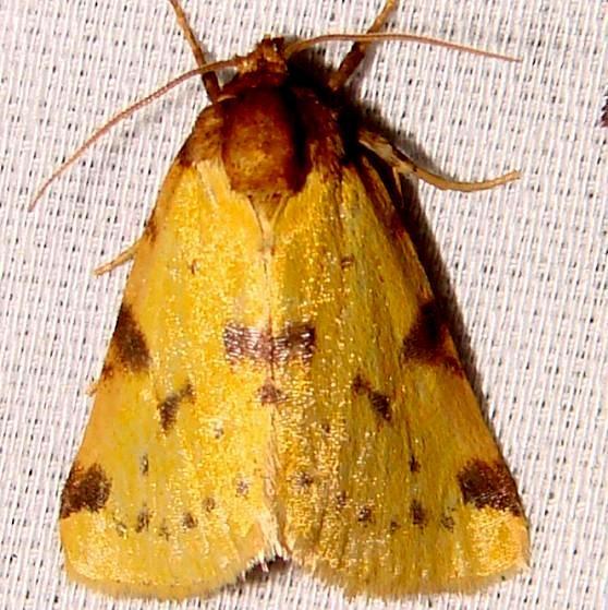 9725 Obtuse Yellow Moth Paynes Prairie St PK 3-21-12