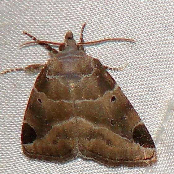 9754 Black-barred Brown Moth yard 8-2-09