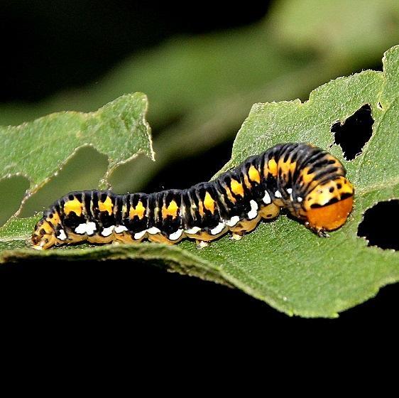 9781 Gold Moth caterpillar Webster Rd 9-4-15