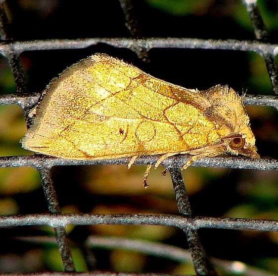 9781 Gold Moth yard 8-2-09