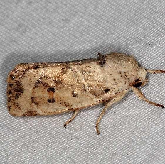 9815 American Dun-bar Moth Burr Oak St Pk at cabins 6-27-14