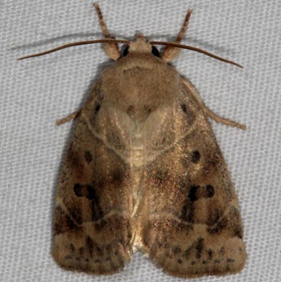 9815 American Dun-bar Moth Copperhead Firetower Shawnee St Forest 6-13-15