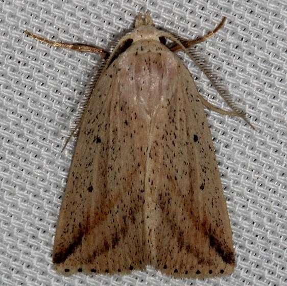 9819 Oblique Grass Moth Kissimmee Prairie St Pk 2-16-14