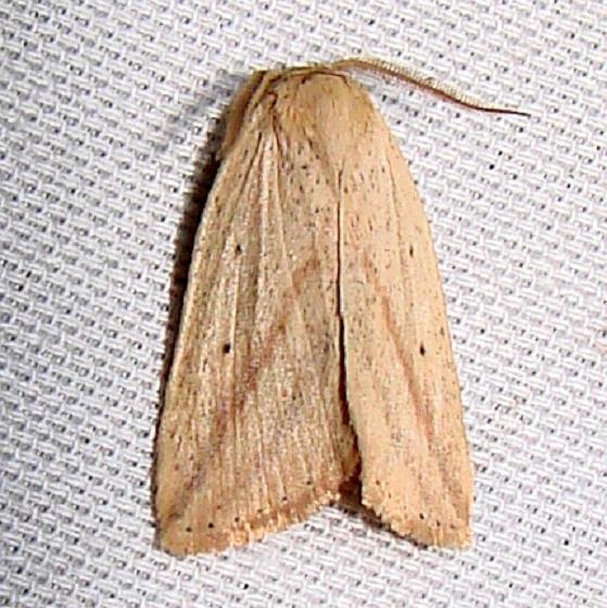 9819 Oblique Grass Moth Payne's Prairie St Pk 3-22-12