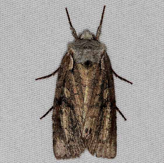 9928.97 Unidentified Lithopane Moth BG Carter Cave St Pk KY 4-23-15 (3)_opt