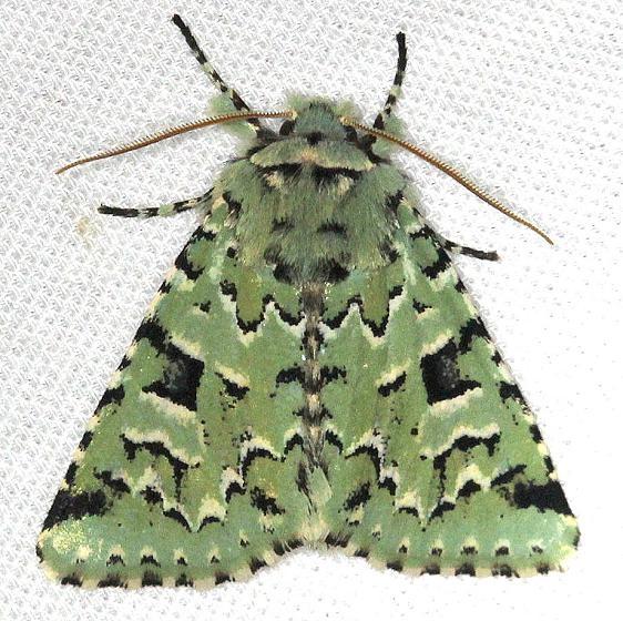 10006 Deceptive Sallow Moth Carter Cave St Pk Ky 4-23-13