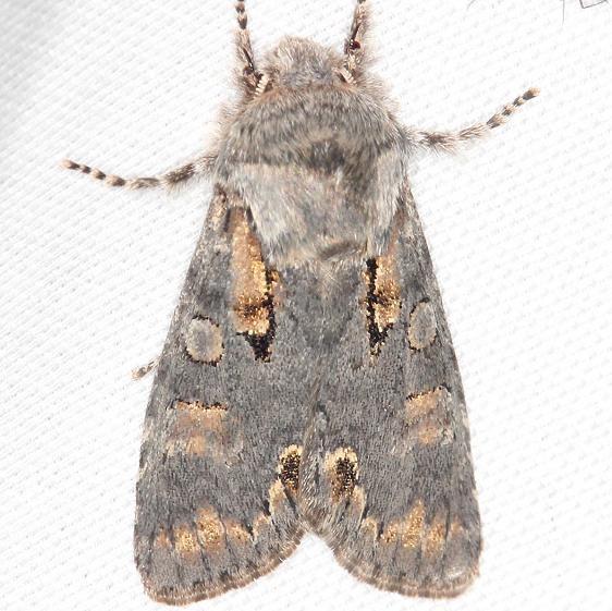 10012 Chosen Sallow Moth yard 4-10-13