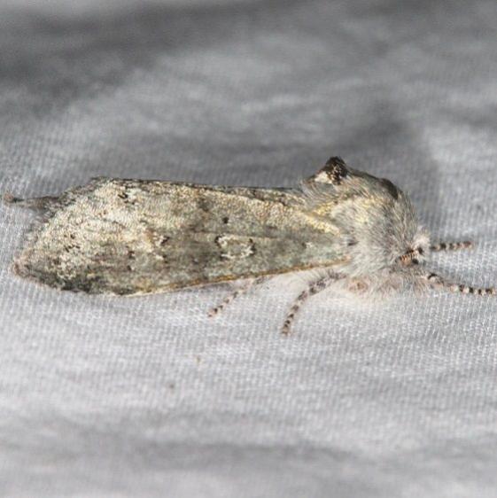 10014 Roland's Sallow Moth Favre Dykes State Park Fl 2-17-17_opt