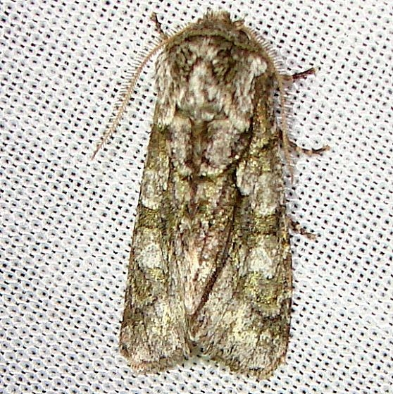 10019 Figure-Eight Sallow Moth Kissimmee Lake St Pk 2-23-12