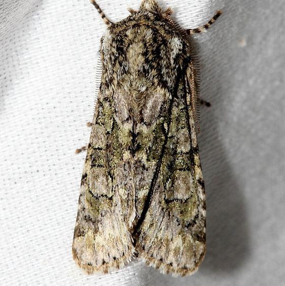 10019 Figure-eight Sallow Moth Little Talbot Island St Pk Fla 2-19-13