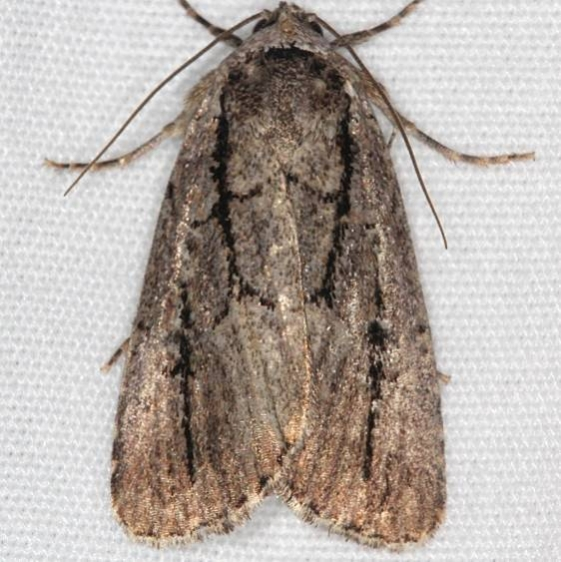10059 Brown-lined Sallow Moth Ash Rapids Lodge Lake of the Woods Ont 7-23-17 (37)_opt