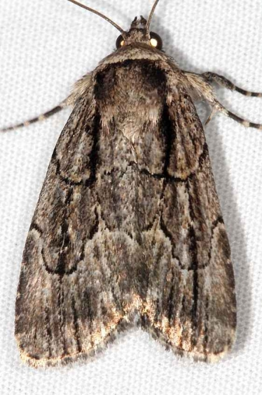 10059 Brown-lined Sallow Moth Ash Rapids Lodge Lake of the Woods Ont 7-24-17 (12)_opt