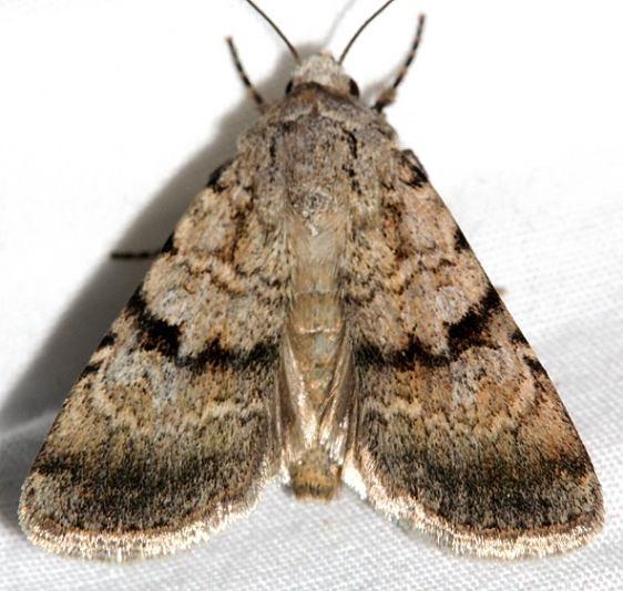10094.3 Sympistis jocelynae Colorado National Monument 6-17-17 (117)_opt