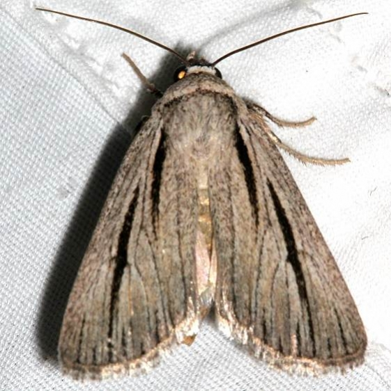 10127 Sympistis nigrocaput Colorado National Monument 6-17-17 (316)_opt