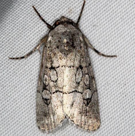 10150 Sympistis sectiloides NABA Gardens Texas 11-1-16_opt