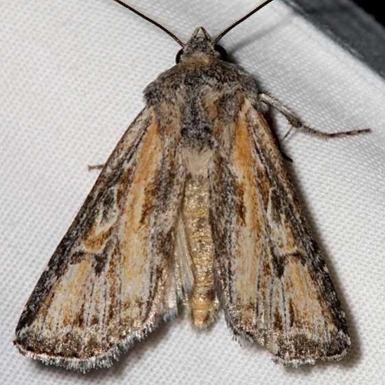 10176 Rhizagrotis stylata Colorado National Monument 6-17-17 (80)_opt