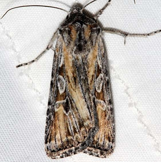 10176 Rhizagrotis stylata Colorado National Monument 6-17-17 (51)_opt