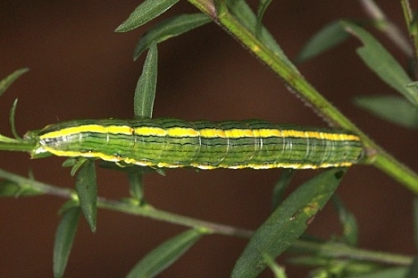 10200 The Asteroid Moth Caterpillar on Aster yard 9-2-14