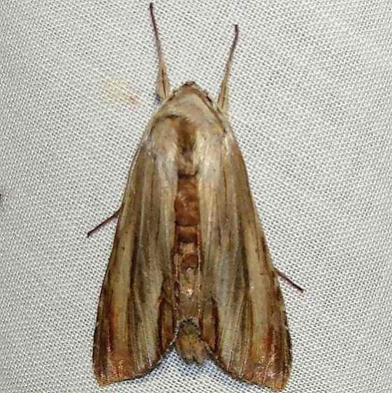 10202 Brown Hooded Owlet Moth yard 8-1-10
