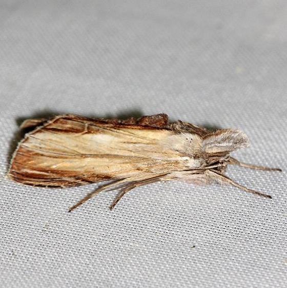 10202 Brown Hooded Owlet Moth yard 8-20-12