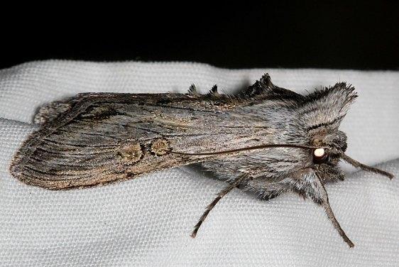 10206 Cucullia antopoda Rocky Mtn Natl Pk Colorado 6-24-17 (20)_opt