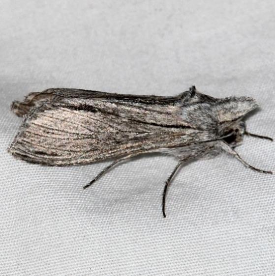 10214 Cucullia astigma Colorado Natl Monument 6-16-17 (318)_opt