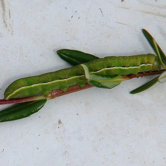 09873 American Swordgrass Moth Caterpillar on Bog Laurel at Cranberry Bog 6-20-07