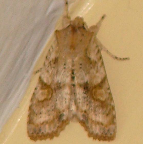 09888 Nameless Pinion Moth yard 11-1-08