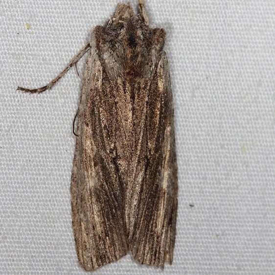 09889 Wanton Pinion Moth yard 5-31-14