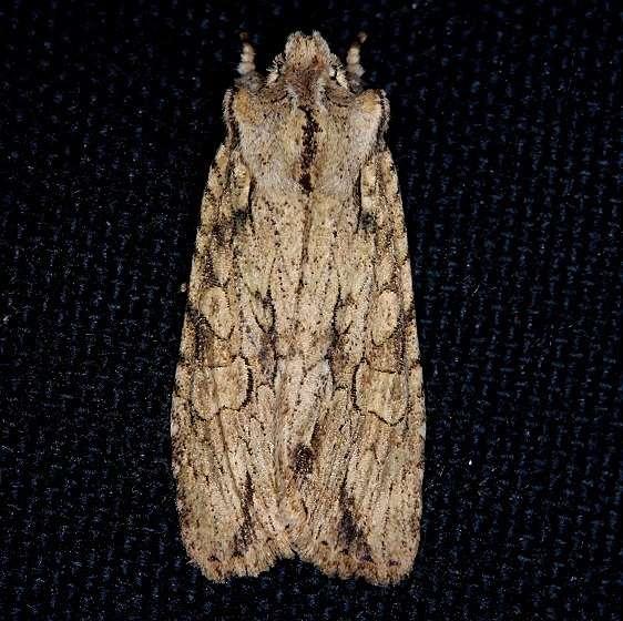 09892 Dashed Gray Pinion Moth yard 1-2-14