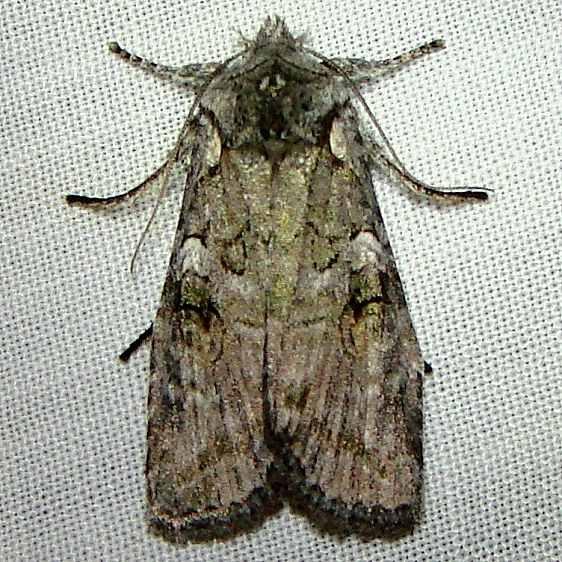 09902 Bailey's Pinion Moth Thunder Lake Mich 10-6-10