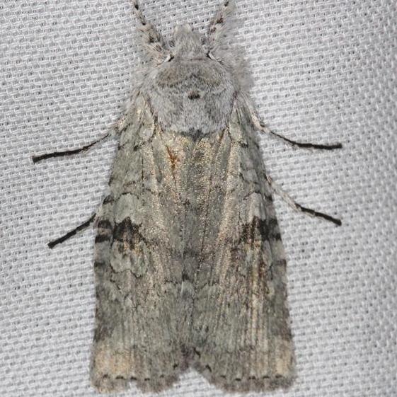 09905 Pale green Pinion Moth yard 4-7-13