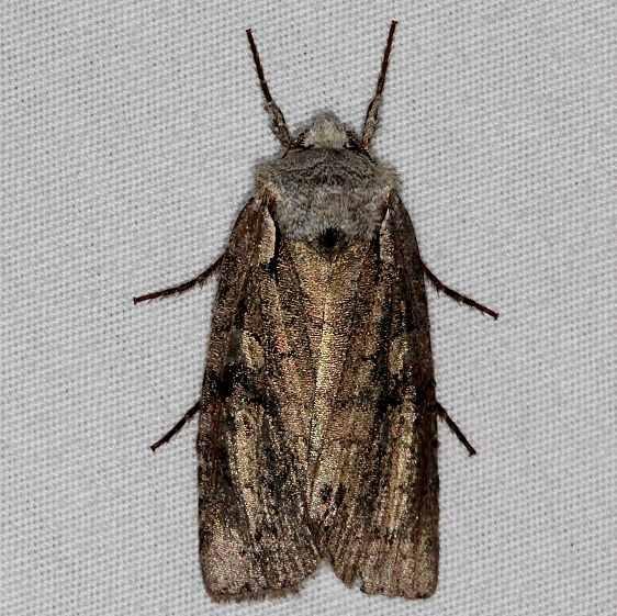 9928.97 Unidentified Lithopane Moth BG Carter Cave St Pk KY 4-23-15 (3)_opt
