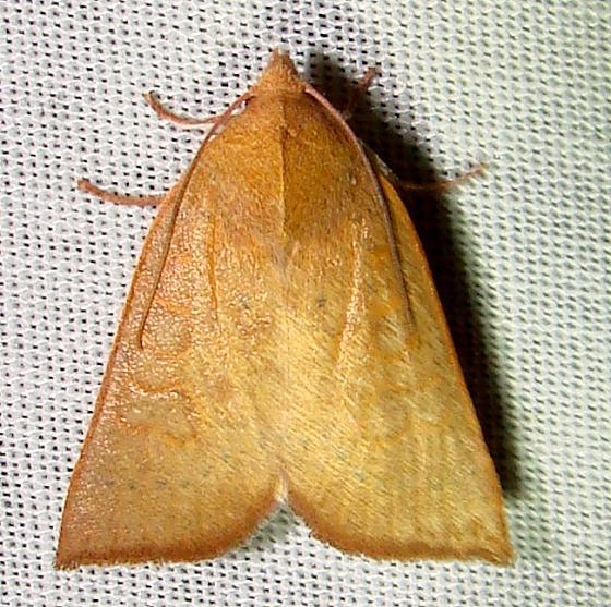 09942 Red-winged Sallow Moth Gold Head Branch State Park 2-15-12