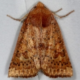 09942 Red-winged Sallow Moth Jenny Wiley St Pk 4-20-16 (1a)_opt