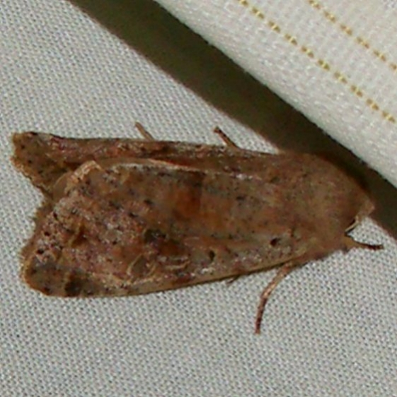 09942 Red-winged Sallow yard Orient 4-13-11_opt