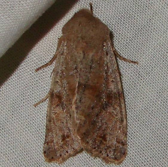 09942 Red-winged Sallow yard Orient Oh 4-13-11_opt