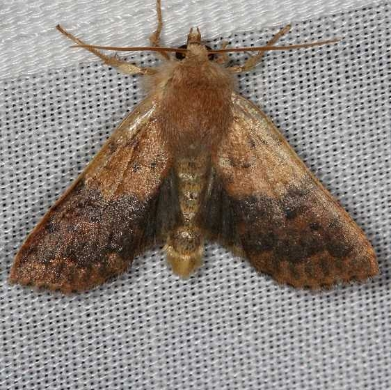 09957 Bicolored Sallow Thunder Lake UP Mich 9-27-13_opt