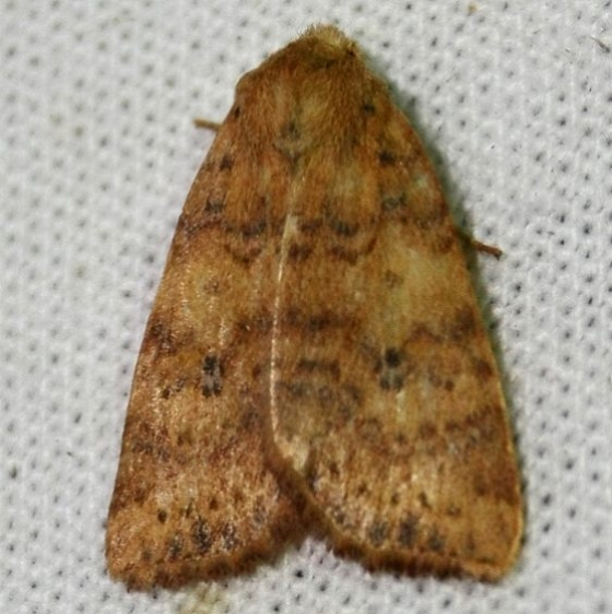 09961 Dotted Sallow at ChatteauAdams Co 9-13-09