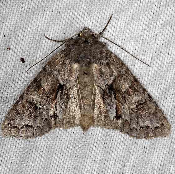 09980 Acadian Sallow Moth Thunder Lake 9-25-13