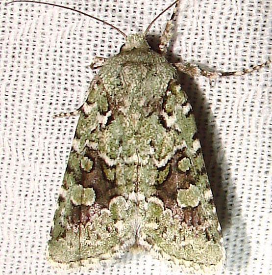 10008 Comstock's Sallow Moth Payne's Prairie St Pk 3-20-12