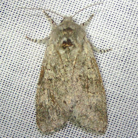 10014 Roland's Sallow Moth Gold Head Branch State Park 2-14-12