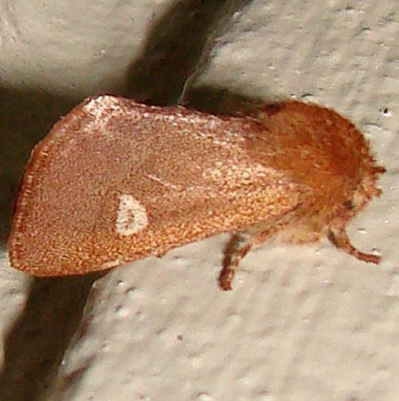 10016 Fawn Sallow Moth Gold Head Branch St Pk Fl 2-16-12