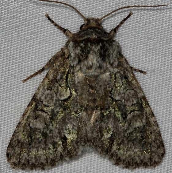 10019 Figure-eight Sallow Moth Lake Kissimmee St Pk 3-8-14
