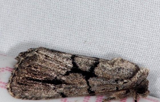 10066.1 Broad-lined Sallow Moth Burr Oak St Pk 6-27-14